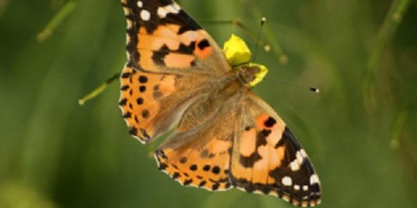 Göçmen kelebekler ilçemizde de görüldü
